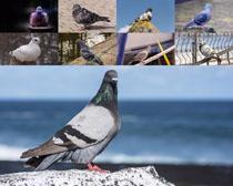 和平鸽拍摄时时彩娱乐网站