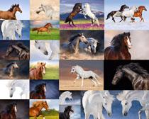 奔跑的野马拍摄高清图片