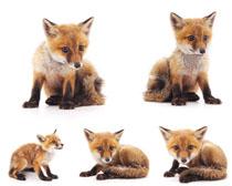 小狐狸写真摄影高清图片