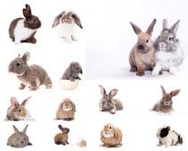 可爱小兔子拍摄高清图片