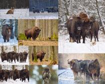 牦牛动物摄影高清图片