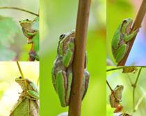 青蛙树枝摄影高清图片