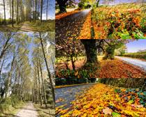 枫叶树木摄影高清图片