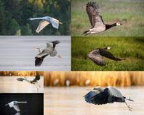 丹顶鹤飞翔摄影时时彩娱乐网站