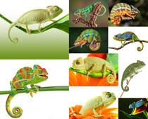 变色龙动物摄影高清图片