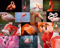 火烈鸟动物拍摄高清图片