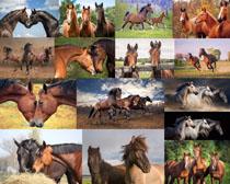 棕色的马拍摄高清图片