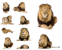 狮子动物拍摄高清图片