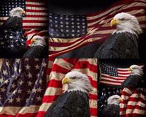 老鹰与旗帜摄影高清图片