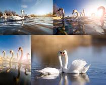 湖水中的天鹅摄影高清图片