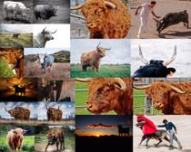 动物牦牛摄影高清图片