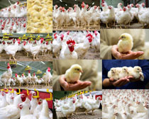 牧场鸡拍摄高清图片