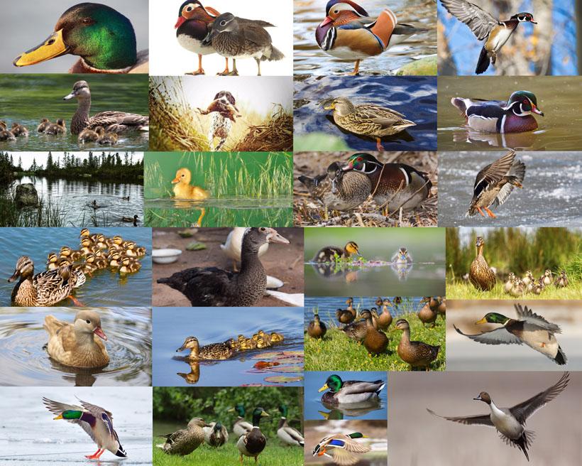 鸭子与飞鸟摄影高清图片