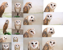 猫头鹰展示拍摄高清图片