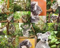可爱的树袋熊摄影高清图片