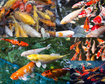 水中金鱼摄影高清图片