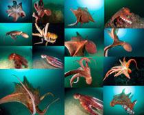海洋八爪鱼摄影高清图片