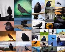 乌鸦鸟类摄影高清图片