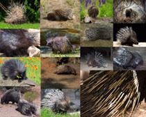 森林刺猬动物摄影高清图片