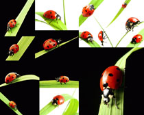 七星瓢虫昆虫摄影高清图片
