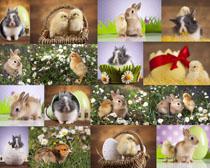 小兔子与小鸡摄影时时彩娱乐网站