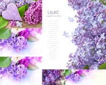 紫色美丽花朵摄影高清图片
