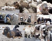 绵羊动物拍摄高清图片