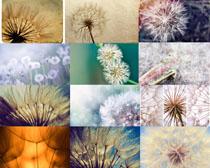 蒲公英花朵摄影高清图片