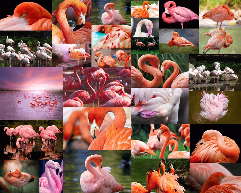 红天鹅动物摄影高清图片