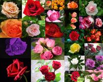 颜色玫瑰花摄影高清图片