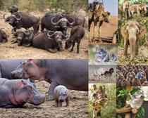 河馬大象牛動物攝影高清圖片