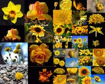 黄色花朵拍摄高清图片