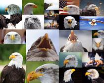张嘴巴的老鹰摄影高清图片