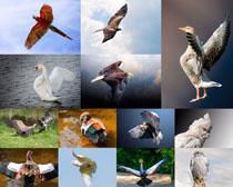 飞翔的鸟类摄影高清图片