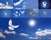 和平鸽天空摄影高清图片