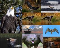 老鹰空中飞鸟摄影高清图片