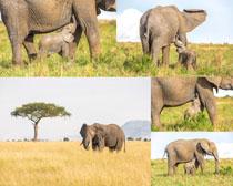 野外大象动物摄影时时彩娱乐网站
