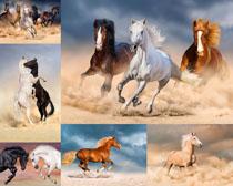 奔跑的野马摄影高清图片