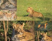 狮子猛兽摄影高清图片