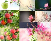 苹果树上的果实摄影高清图片