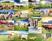 草原上的牛与山羊摄影高清图片