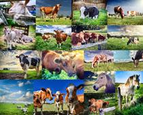 草原奶牛与马摄影高清图片