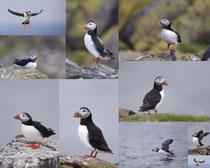 海雀鸟类摄影高清图片