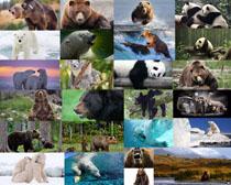 熊与熊猫摄影高清图片