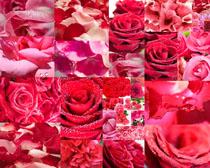 鲜艳的玫瑰花摄影高清图片