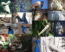 孔雀与鸽子摄影时时彩娱乐网站