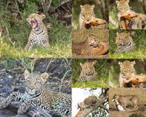 捕猎的豹子摄影时时彩娱乐网站
