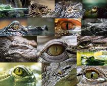 鳄鱼眼晴摄影时时彩娱乐网站