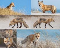 野外狐狸摄影时时彩娱乐网站