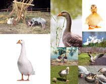 野外鸭子摄影时时彩娱乐网站